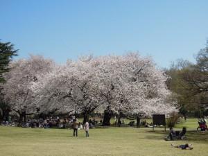 区立砧公園_桜