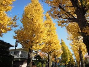 世田谷百景_2013年秋の紅葉_成城のいちょう並木