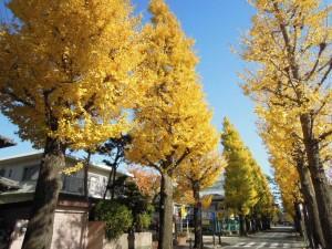 世田谷百景_2013年秋の紅葉_成城のイチョウ並木