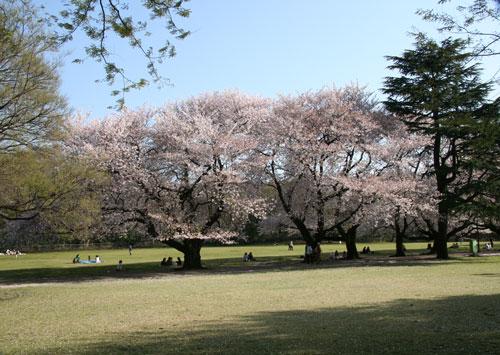 砧公園、桜、画像